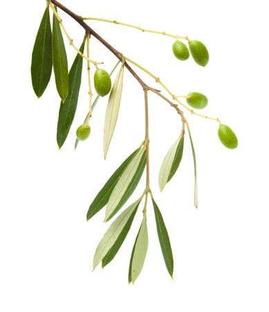 forming small green olives on branches, isolated on white photo