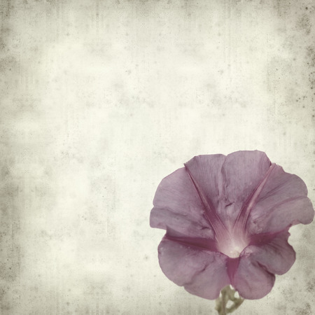 moonflower: textured old paper background with morning glory flower