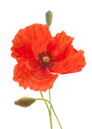 dubium: Long-headed Poppy isolated on white background