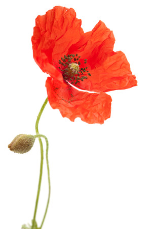 Long-headed Poppy isolated on white background