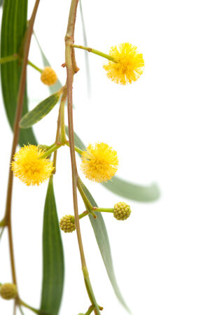 Acacia twig with yellow fluffy ball flowers isolated on white stock acacia twig with yellow fluffy ball flowers isolated on white stock photo 29759235 mightylinksfo