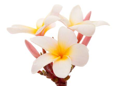 flores exoticas: frangipani flor aislada en blanco Foto de archivo