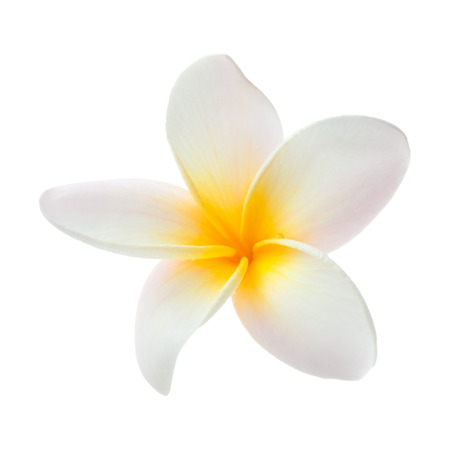 frangipani flower isolated on white photo