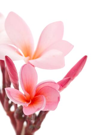 champa flower: pink frangipani flower isolated on white