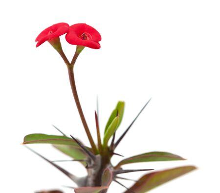 Euphorbia milii flower isolated on white photo