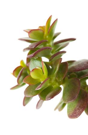jade plant: crassula plant isolated on white