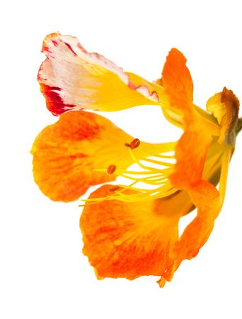 flamboyant: orange variety of delonix regia, famboyant tree, isolated Stock Photo