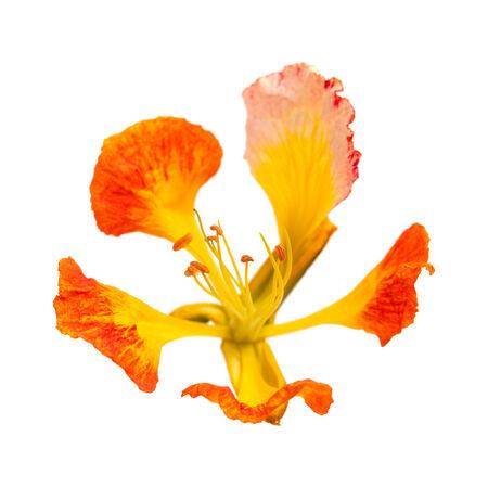 orange variety of delonix regia, famboyant tree, isolated photo