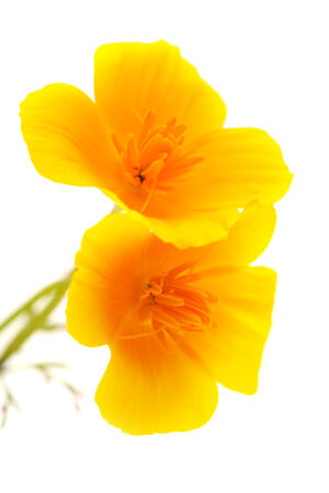 invasive species: Californian poppy isolated on white Stock Photo