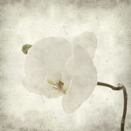 phal: textured old paper background with white Phalaenopsis orchid