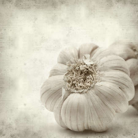 textured old paper background with large garlic bulb photo