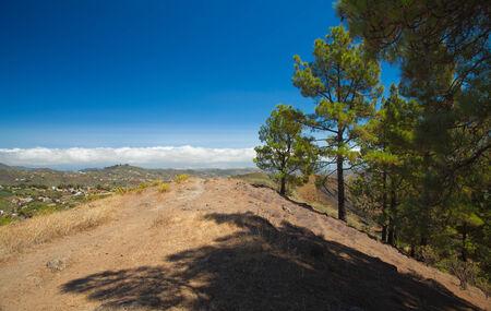 canariensis: Gran Canaria, inland, endemic pine Pinus canariensis grows on mountainsides, hiking trail Stock Photo
