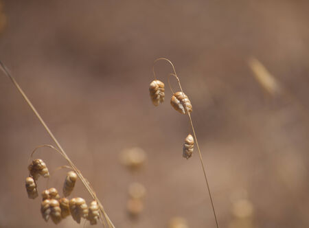 temperate region: Briza, quaking grass natural background Stock Photo