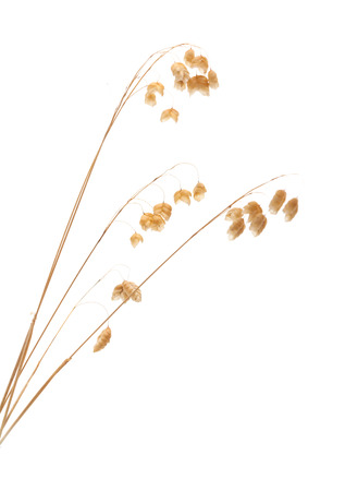 temperate region: Briza, quaking grass, dry seedheads isolated on white
