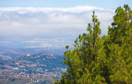 canariensis: Gran Canaria, inland, endemic pine Pinus canariensis grow on mountainsides, Las Palmas in the background Stock Photo