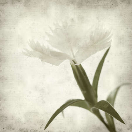 white textured paper: textured old paper background with white Dianthus chinensis flowers