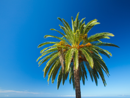 canariensis: natural background with Phoenix canariensis, canarian date palm, and distant ocean