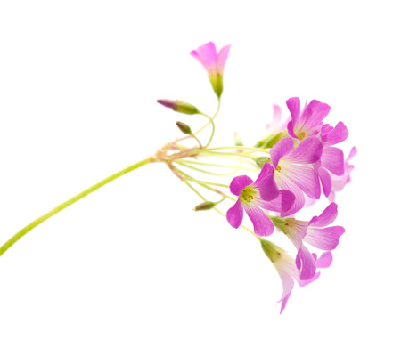 oxalidaceae: Pink flowers of Oxalis corymbosa isolated on white