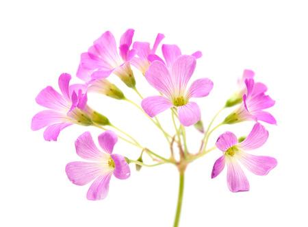 corymbosa: Pink flowers of Oxalis corymbosa isolated on white