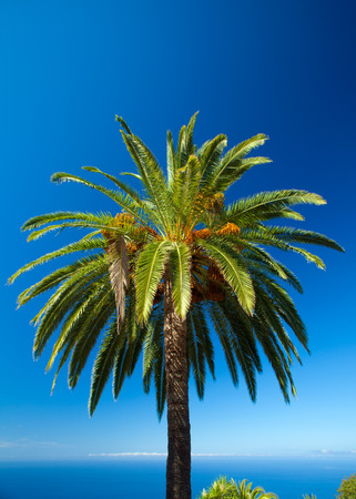 ble: Phoenix canariensis, Canary Islands date Palm, against ble sky and ocean background Stock Photo