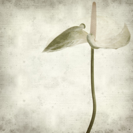 textured old paper background with white  anthurium photo