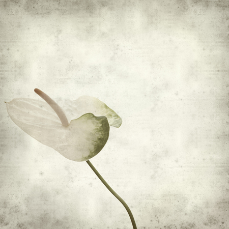 white textured paper: textured old paper background with white  anthurium Stock Photo