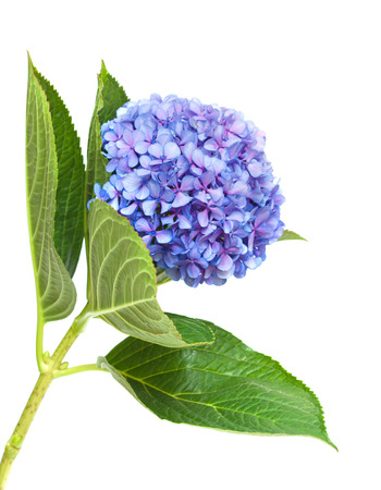 lilac-blue hydrangea isolated on white background photo