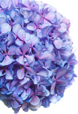 lilac-blue hydrangea isolated on white background photo