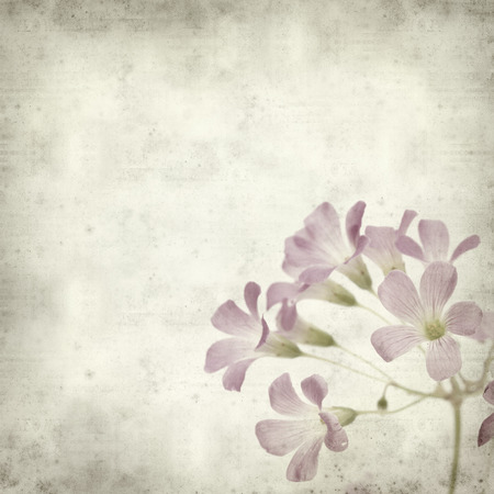 textured old paper background with Oxalis corymbosa photo
