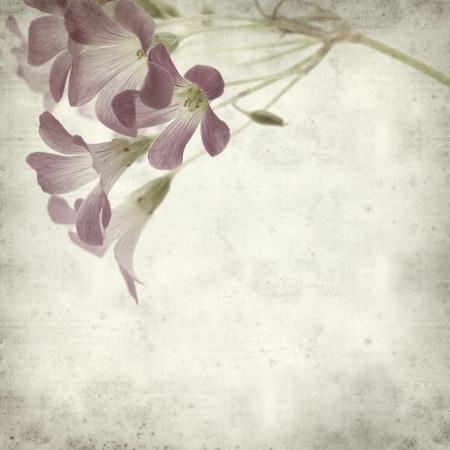 corymbosa: textured old paper background with Oxalis corymbosa