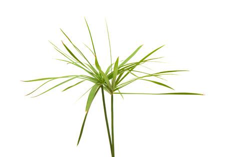 papyrus plant isolated on white 版權商用圖片