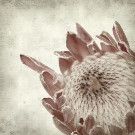 protea flower: textured old paper background with pink protea flower
