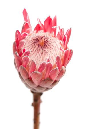 pink protea macro natural background