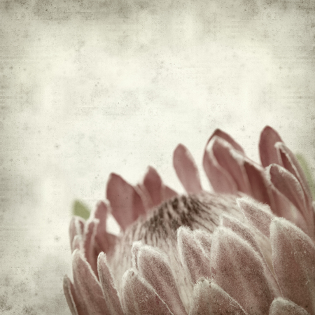 textured old paper background with pink protea flower photo