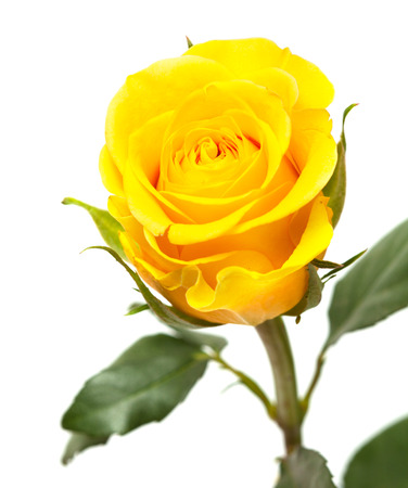Single yellow rose flower isolated on white stock photo picture and single yellow rose flower isolated on white stock photo 33173866 mightylinksfo