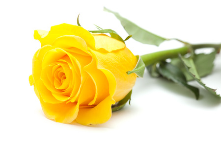 Single yellow rose flower isolated on white stock photo picture and single yellow rose flower isolated on white stock photo 33173869 mightylinksfo