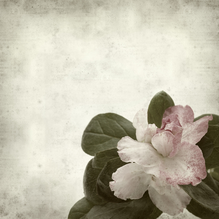 textured old paper background with double pink azalea photo