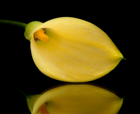yellow calla lily islolated on black, on a mirror photo