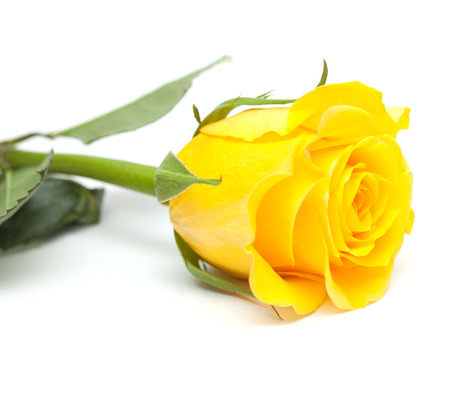 Single yellow rose flower isolated on white stock photo picture and single yellow rose flower isolated on white stock photo 33175245 mightylinksfo
