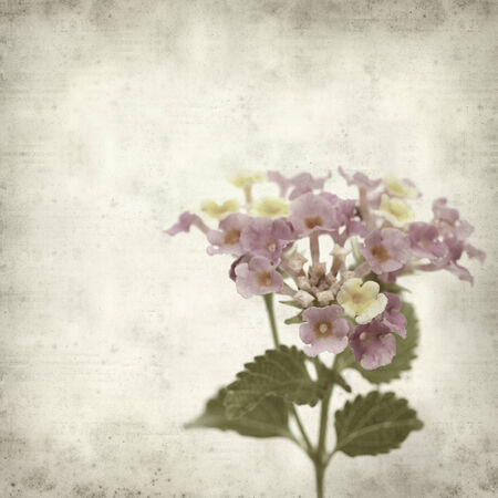 textured old paper background with pink and yellow Lantana flowers photo