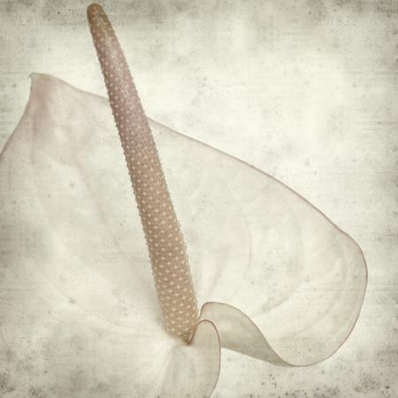 anthurium: textured old paper background with pink anthurium