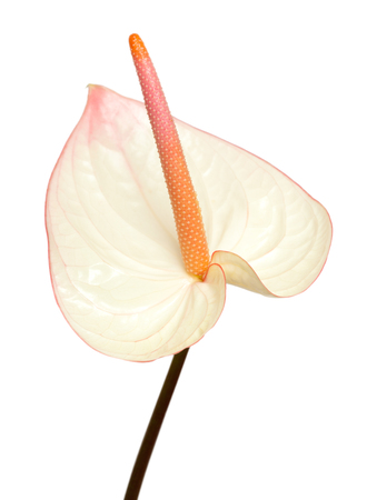pink anthurium with darker edges isolated photo