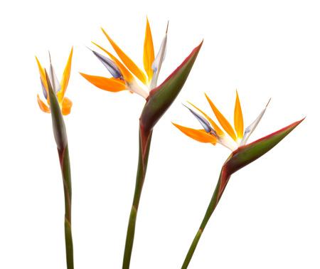 resemblance: Strelitzia reginae, bird of paradise flower isolated Stock Photo