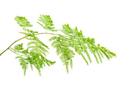 scrambling: Asparagus setaceus foglia isolato su bianco Archivio Fotografico