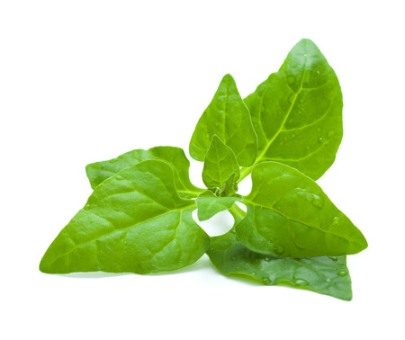 invasive plant: Tetragonia tetragonioides, New Zealand spinach, isolated on white Stock Photo
