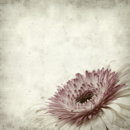 white textured paper: textured old paper background with pink and white gerbera Stock Photo
