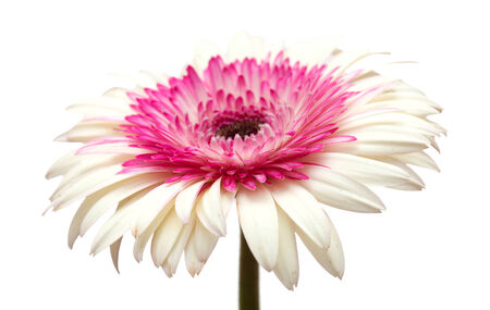 commercially: white and magenta gerbera isolated on white background