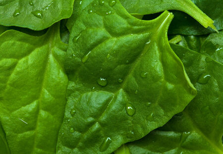 invasive plant: Tetragonia tetragonioides, New Zealand spinach, food background Stock Photo