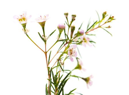 myrtaceae: small pink wax flower blooms isolated on white Stock Photo
