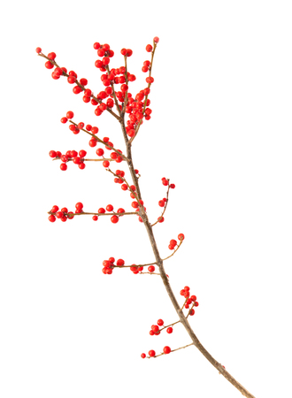 winterberry: Ilex verticillata, winterberry branches isolated on white background Stock Photo